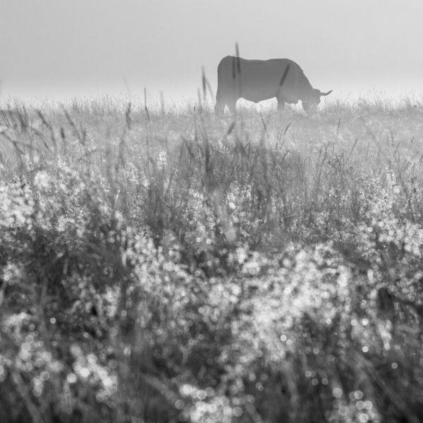 Aubrac, France, vache aubrac