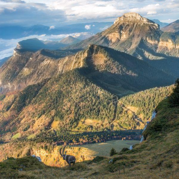 bouquetin, dent de Crolles, Chamechaude, Chartreuse, Alpes