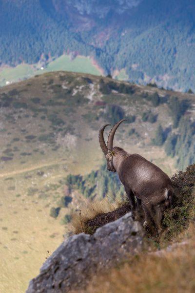 stage photo animalière, bouquetin, dent de Crolles, Chamechaude, Chartreuse, Alpes
