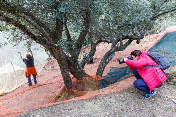 stage photo Cinque Terre, Italia, Liguria, Volastra, récolte des olives, terrasses