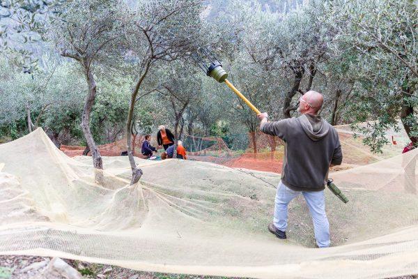 Cinque Terre, Italia, Liguria, Volastra, récolte des olives, terrasses