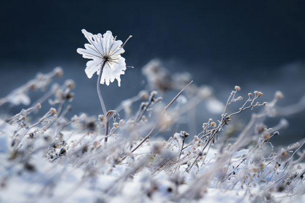 Chartreuse, Alpes, Isère, fleur d'hiver