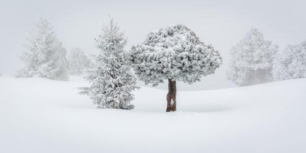 Chartreuse, Alpes, Isère, Savoie, pin à crochet gelé, hauts plateaux, réserve naturelle des Hauts de Chartreuse