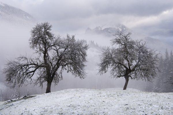 Chartreuse, Alpes, Isère, cerisiers et Grand Som dans les nuages