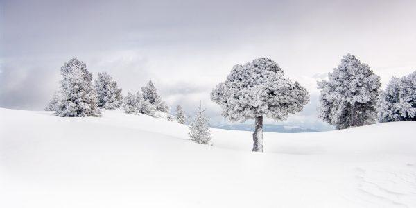 Chartreuse, Alpes, Isère, pin à crochet gelé, hauts plateaux, réserve naturelle des Hauts de Chartreuse