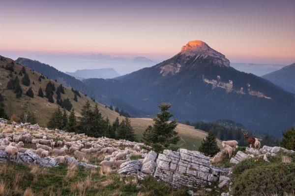 Alps, Isère, Chartreuse, moutons sur Pravouta, lever de soleil sur Chamechaude