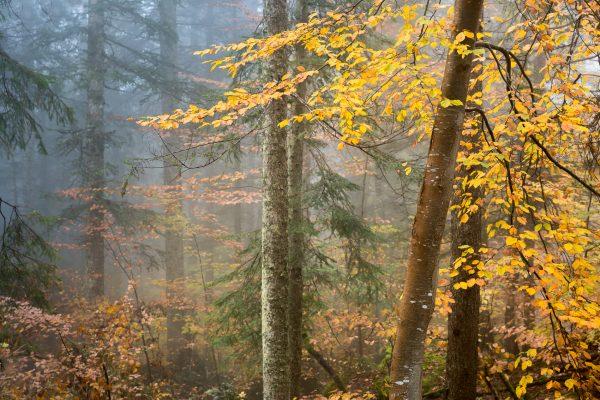 Alpes, Isère, Chartreuse, forêt d'automne