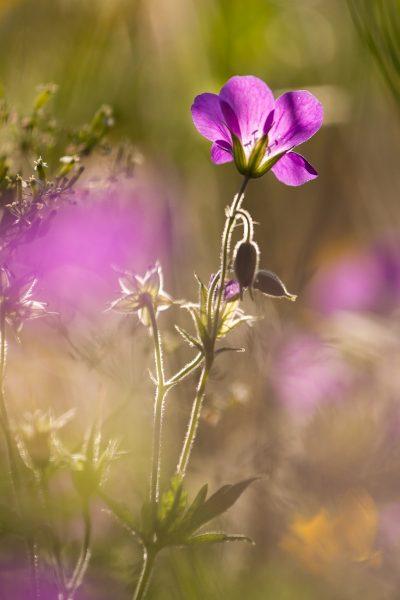 stage photo flore, stage macro-photo, géranium des prés, chartreuse
