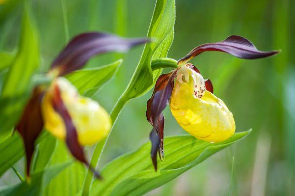 orchidée, sabot de Vénus, Cypripedium calceolus, stage photo flore, stage macro-photo, Chartreuse