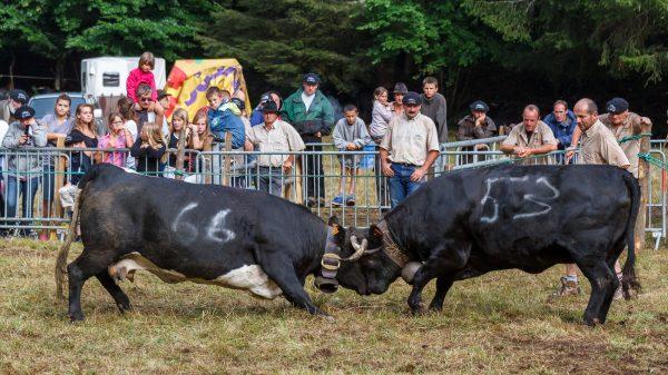 Chartreuse, Alpes, Fête des Hérens, Saint-Pierre-de-Chartreuse, combat de vaches Hérens, bataille de reines