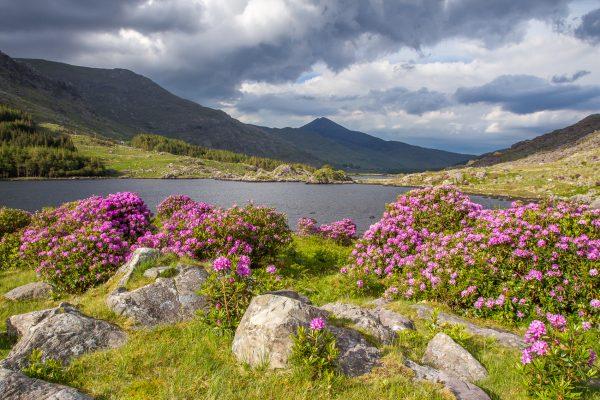 Irlande, Kerry, Iveragh peninsula, lough perdu, près de Moll's Gap, jardin de lauriers roses
