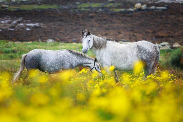 Irlande, poneys du Connemara