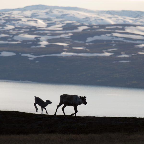 Sweden, Padjelanta, Laponia, Sapmi, reindeers near Vastenjaure