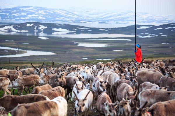 Sweden, Padjelanta, Laponia, Sapmi, summer Reindeer earmarking