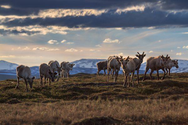 Sueden, Padjelanta, Laponia, Sapmi, reindeers