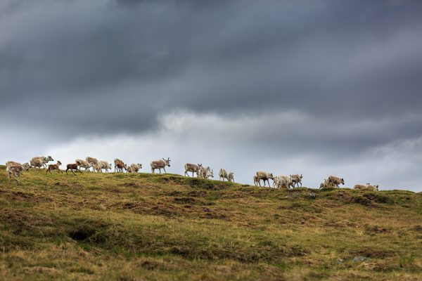 Suède, Padjelanta, Laponie, Sapmi, harde de rennes