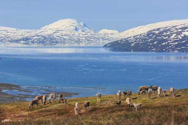 Suède, Padjelanta, Laponie, Sapmi, rennes devant Vastenjaure