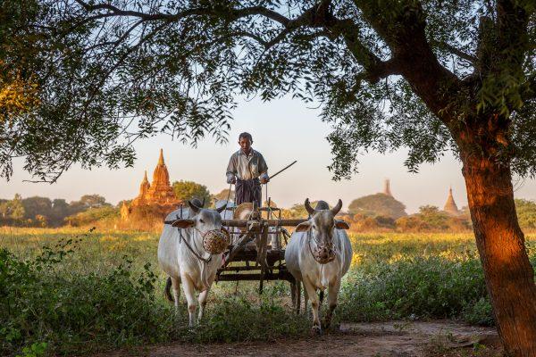Myanmar, Birmanie, Bagan, le charretier (3)