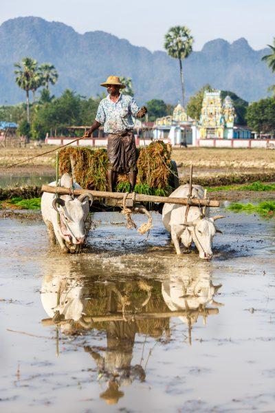 Myanmar, Birmanie, Hpa-an, plantation du riz