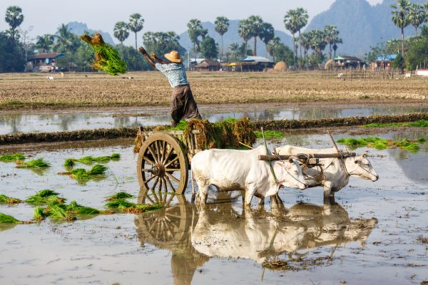 Myanmar, Birmanie, Hpa-an, rice planting with oxen