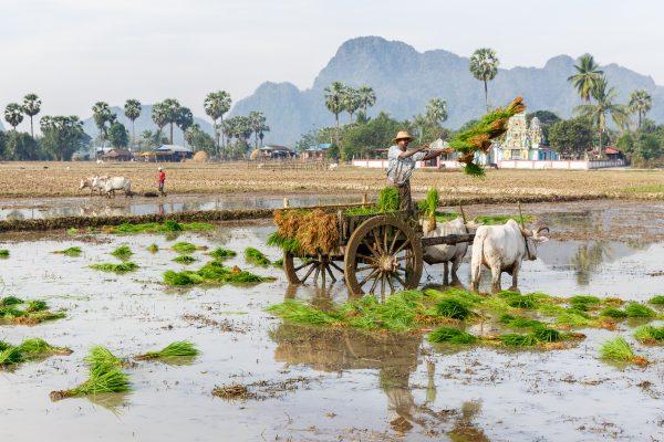 Myanmar, Birmanie, Hpa-an, plantation du riz avec des boeufs de labour