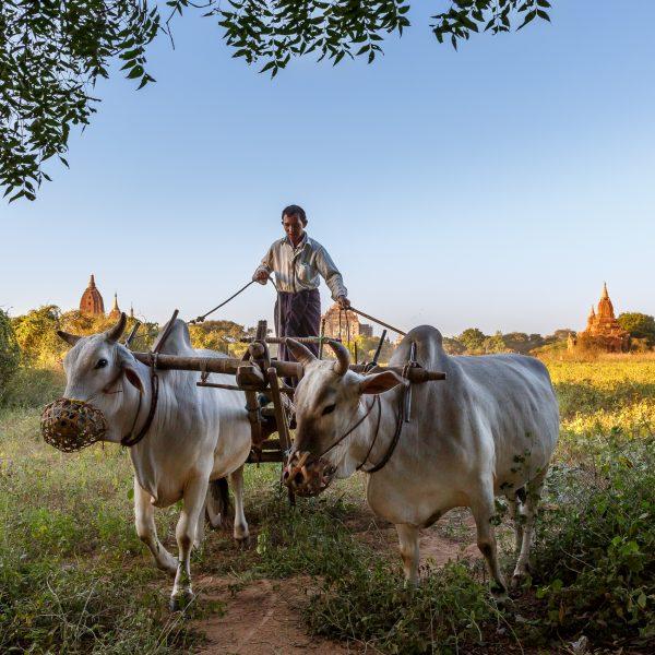 Myanmar, Birmanie, Bagan, le charretier (2)