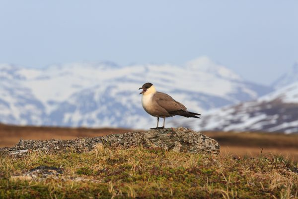Voyage photo laponie, Suède, Padjelanta, padjelantaleden, Labbe à longue queue, Stercorarius longicaudus