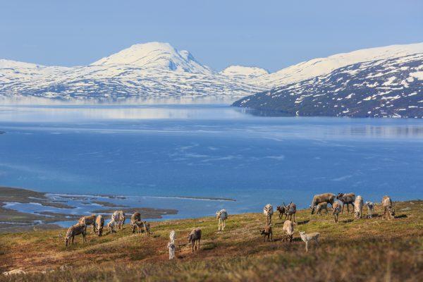 Voyage photo laponie, Suède, Padjelanta, padjelantaleden, reindeers facing Virihaure