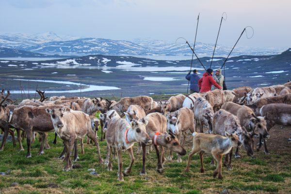 Voyage photo laponie, Suède, Padjelanta, padjelantaleden, reindeer earmarking, marquage des rennes par les Samis
