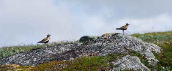 Voyage photo laponie, Suède, Padjelanta, padjelantaleden, pluviers dorés