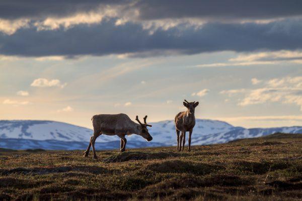 Voyage photo laponie, Suède, Padjelanta, padjelantaleden, reindeers