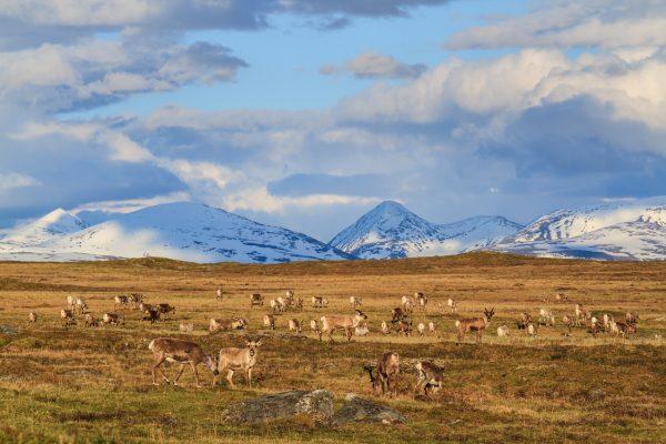 Voyage photo laponie, Suède, Padjelanta, padjelantaleden, reindeers, harde de rennes devant le Sarek