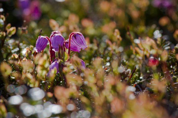 Voyage photo laponie, Suède, Padjelanta, padjelantaleden, andromède bleue, Phyllodoce caerulea