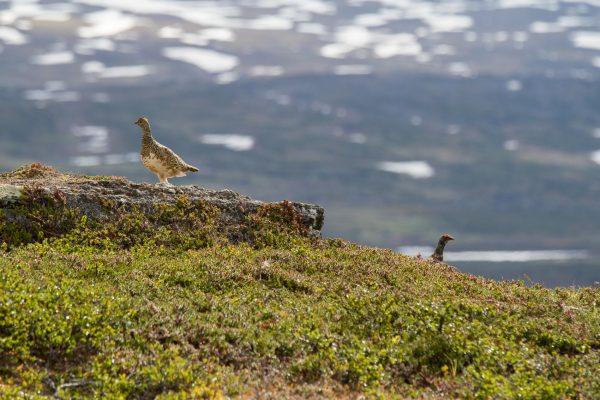 Voyage photo laponie, Suède, Padjelanta, padjelantaleden, couple de lagopèdes des saules, lagopus, Ptarmigans