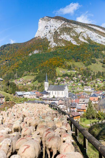 transhumance des moutons, St-Pierre d'Entremont, Roche Veyrand, Chartreuse, Alpes