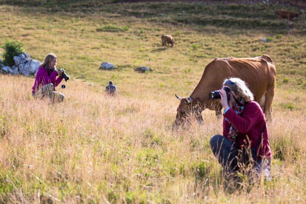 stage photo, photographes et troupeau de vaches tarines à l'alpage, Charmant Som, Chartreuse, Alpes
