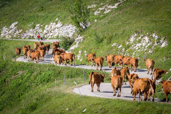 stage photo, troupeau de vaches tarines à l'alpage, Charmant Som, Chartreuse, Alpes