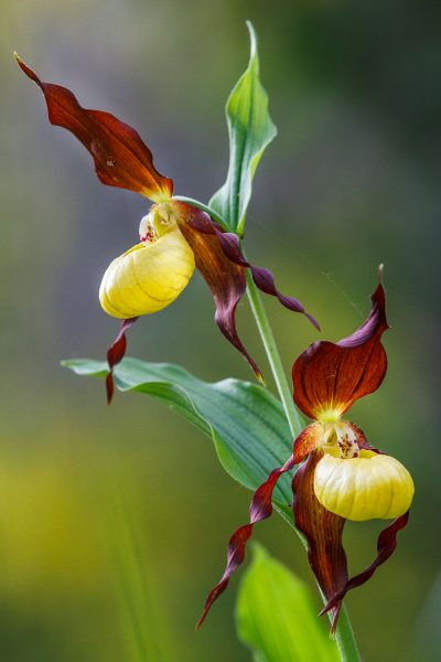 orchidée, sabot de Vénus, Cypripedium calceolus, stage photo flore, stage macro-photo,