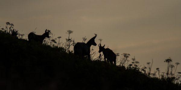 stage photo lever de soleil, chamois au lever du soleil, Chartreuse