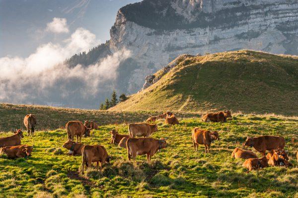 troupeau de vaches tarines à l'alpage, Charmant Som, Chartreuse, Alpes