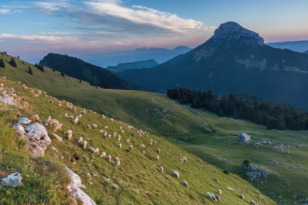 Chartreuse, french Alps, Chamechaude from Pravouta, sheeps on pasture