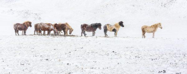 Islande, Snaefellsnes, poney islandais, Iceland