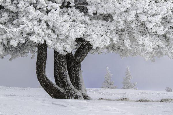 arbre gelé, réserve naturelle, Savoie, neige, hiver, Chartreuse,