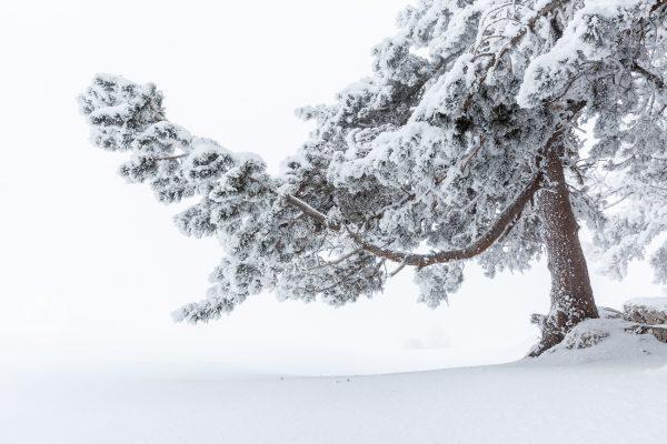 arbre, Isère, neige, hiver, Chartreuse, hauts-plateaux, réserve naturelle