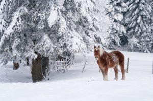 Cheval dans la neige, Isère, Savoie, neige, hiver, Chartreuse