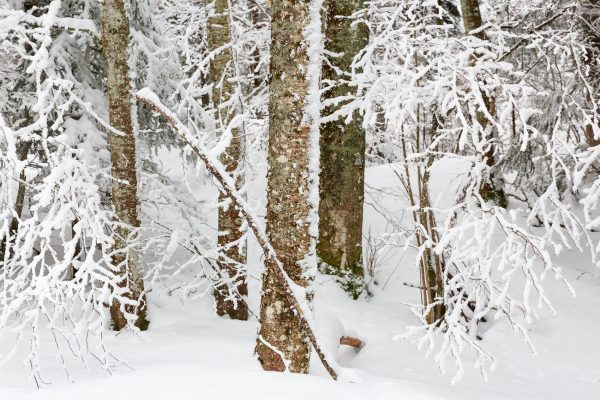 Arbres sous la neige en Chartreuse, Isère, Savoie