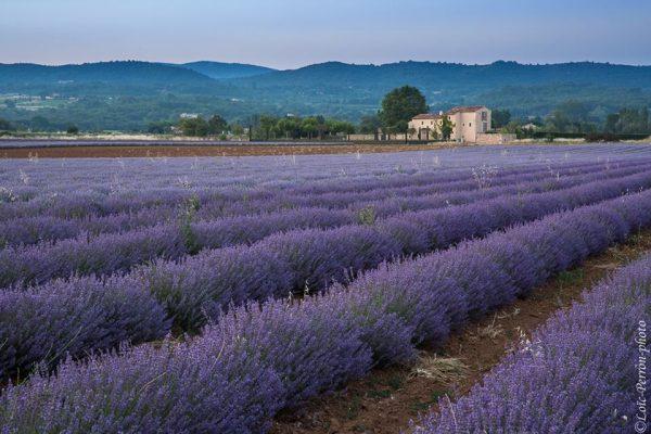 champ de lavandes pendant un stage photo en Provence
