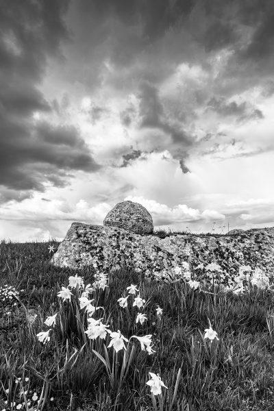 Paysage d'Aubrac en noir et blanc, jonquilles