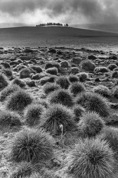 Aubrac en noir et blanc, paysage et jonquille isolée