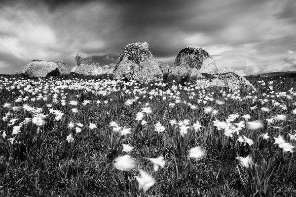 Aubrac en noir et blanc, champ de jonquilles